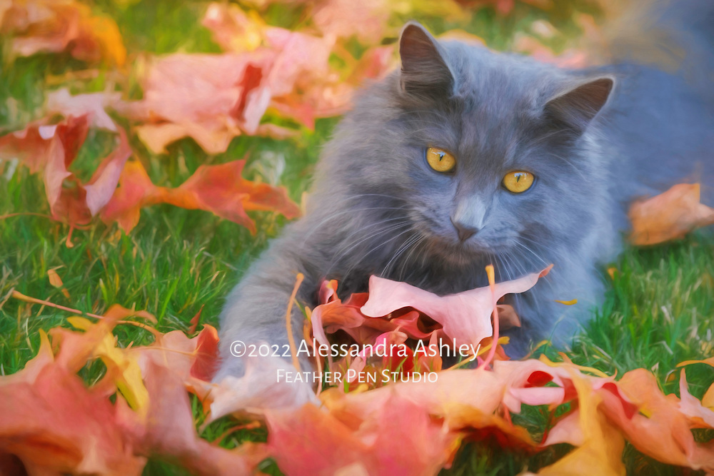 Long haired, blue-gray male cat plays in freshly fallen autumn leaves. Willow Creek Press 2018 selection for Just Cats calendar.