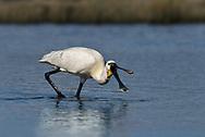 Spoonbill - Platalea alba