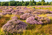 Heathland vegetation with heather in flower, Calluna vulgaris, Sutton Heath, Shottisham, Suffolk, England, UK