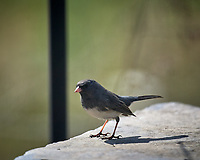 Dark-eyed Junco. Image taken with a Nikon D5 camera and 600 mm f/4 VR lens