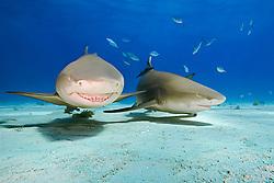 lemon sharks, Negaprion brevirostris, Grand Bahama, Atlantic Ocean