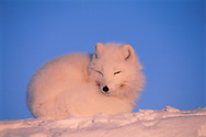 """Arctic Fox, Alopes lagopus, Ellesmere Island, Nunavut, Canada, Arctic<br /> Attribution-NonCommercial-NoDerivs 3.0 (http://creativecommons.org/licenses/by-nc-nd/3.0) with the exception """"This photo may be used only for non-profit purposes and marketing of Greenlandic tourist products (no merchandise)"""""""