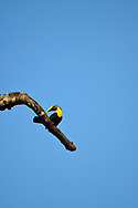 Chestnut-mandibled Toucan (Ramphastos swainsonii) sits on a branch against a blue sky in Golfo Dulce, Costa Rica.