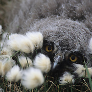 Snowy Owl (Nyctea scandiaca) chick in cotton grass. Barrow, Alaska