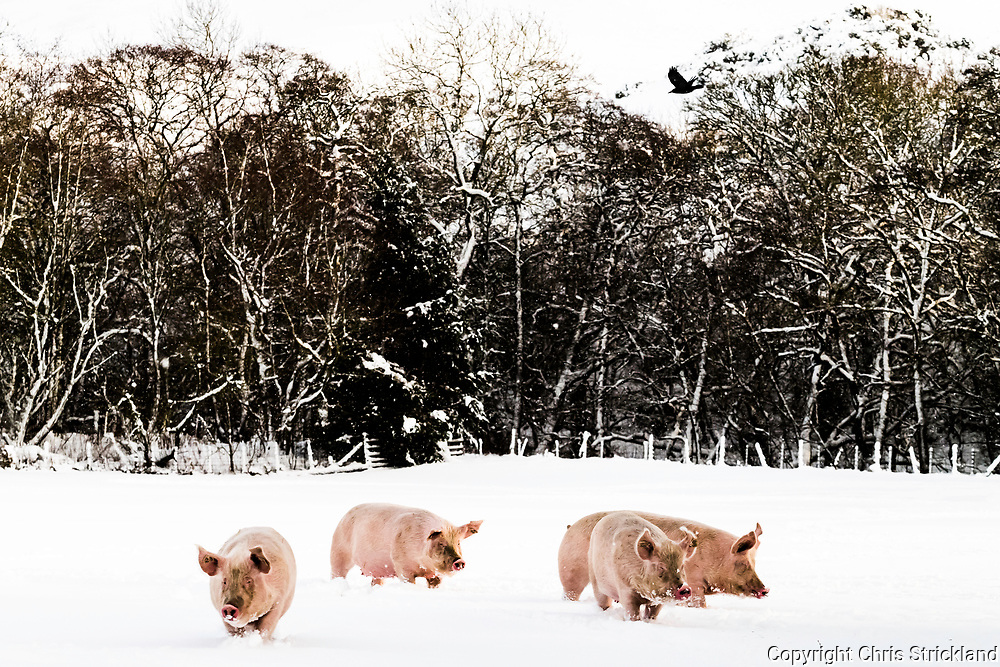 Hawick, Scottish Borders, UK. 17th January 2018. Pigs walk through a snow covered field near Hawick in the Scottish Borders.