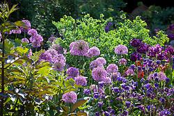 Allium hollandicum, thalictrum and aquilegias in the oast garden
