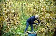 Nederland, Groesbeek, 15-10-2020 Bij wijnhoeve de Colonjes zijn vrijwilligers bezig met de oogst van de laatste biologisch geteelde druiven van dit seizoen . Met 13 ha. een van de grootste van het land, gaat kwaliteit hier boven kwantiteit. De druiven zijn van goede kwaliteit . Het dorp Groesbeek afficheert zichzelf als het wijndorp van Nederland omdat er de jaarlijkse wijnfeesten zijn en verschillende boeren druiven verbouwen. Door de coronacrisis is het moeilijker de wijn te verkopen . Foto: ANP/ Hollandse Hoogte/ Flip Franssen