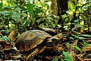 Yellow-footed Tortoise (Geochelone denticulata) an endangered specie in Amazonia, Peru.