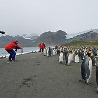 Eco-tourists photograph a King Penguin rookery at Gold Harbor, South Georgia, Antarctica.