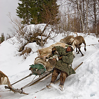 North of the Arctic Circle in Russia, Piotr Terentev, of the the last nomadic Komi reindeer herder, slows down a sled to keep it from running over reindeer as their caravan descends into a stream bed.