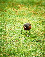 American Robin. Sourland Mountain Preserve. Image taken with a Nikon D300 camera and 80-400 mm lens.