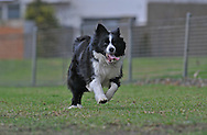 Mollie - Border Collie.William St Reserve, Brighton, Victoria .12th of July 2009.(C) Joel Strickland Photographics.Use information: This image is intended for Editorial use only (e.g. news or commentary, print or electronic). Any commercial or promotional use requires additional clearance.