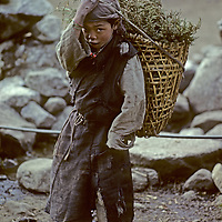 HIMALAYA, NEPAL. Sherpa girl gathers juniper firewood for family, augmenting deforestation in Khumbu region.