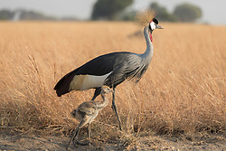 Grey Crowned Crane With Chick