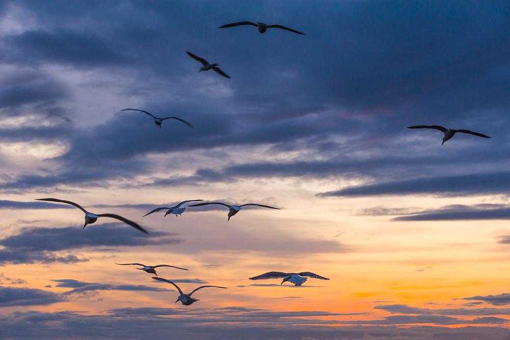 Gulls and sunset sky, May, Strait of Juan de Fuca, Clallam County, Olympic Peninsula, Washington, USA