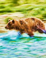 Painterly treatment of coastal brown bear running after salmon in an unnamed stream in Kinak Bay, Katmai National Park, Southwest Alaska, summer
