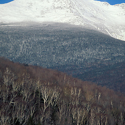 Paper Birch, Betula papyrifera, on the slopes below NH's Mt. Jefferson. White Mountains. Presidential Range.  Gorham, NH (from the Glen House Site)