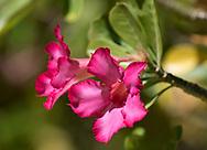Adenium obesum (Desert rose) a deep pink flower in Sunnyside Garden, St. George's, Grenada, the West Indies, the Caribbean