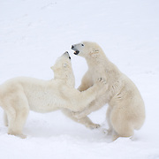 Polar Bear (Ursus maritimus) bears play fighting. Cape Churchill, Manitoba, Canada