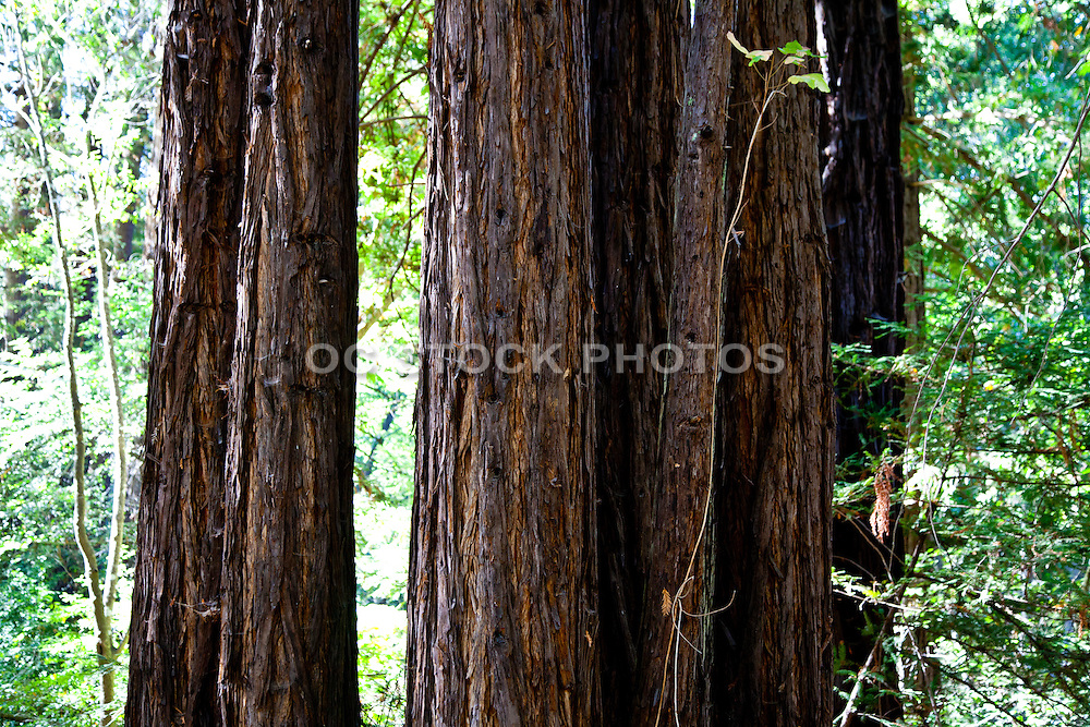 Redwood Trees Closeup
