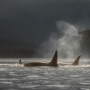 This photo was used by Athena International for a poster in the late 1980s. It was cropped into portrait format with ORCAS in bold white lettering at the bottom.