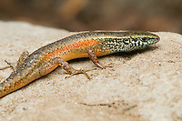 Four-fingered skink, Carlia sp., from the Baucau district of Timor-Leste (East Timor). A previously undescribed species, tentatively called Carlia species 3.  (Specimen HK548)