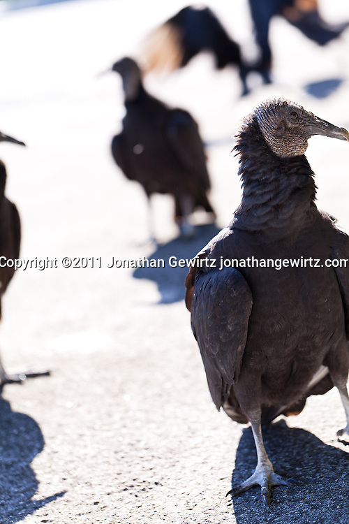Black vultures in Everglades National Park, Florida. WATERMARKS WILL NOT APPEAR ON PRINTS OR LICENSED IMAGES.