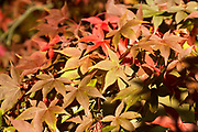 Japanese maple tree in autumn colour, Acer Palmatum, National arboretum, Westonbirt arboretum, Gloucestershire, England, UK 'Osakazuki'