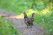 Young ruffed grouse feed on a forest trail.