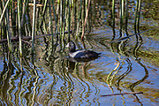 American Coot, Ballona Wetlands, Playa Del Rey, Los Angeles, California, USA
