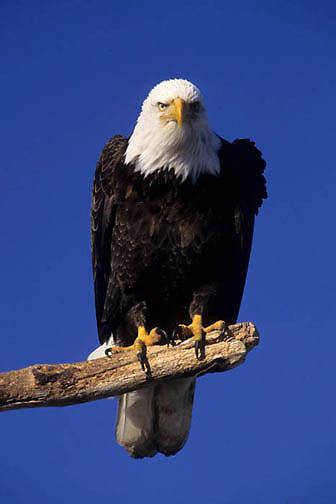 Bald Eagle, (Haliaeetus leucocephalus) Portrait of adult. Alaska.