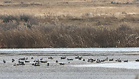 Various Waterfowl. Arapaho National Wildlife Refuge. Image taken with a Nikon D2xs camera and 80-400 mm VR lens.