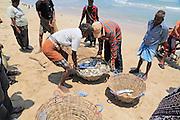 Traditional fishing hauling nets Nilavelli beach , near Trincomalee, Eastern province, Sri Lanka, Asia