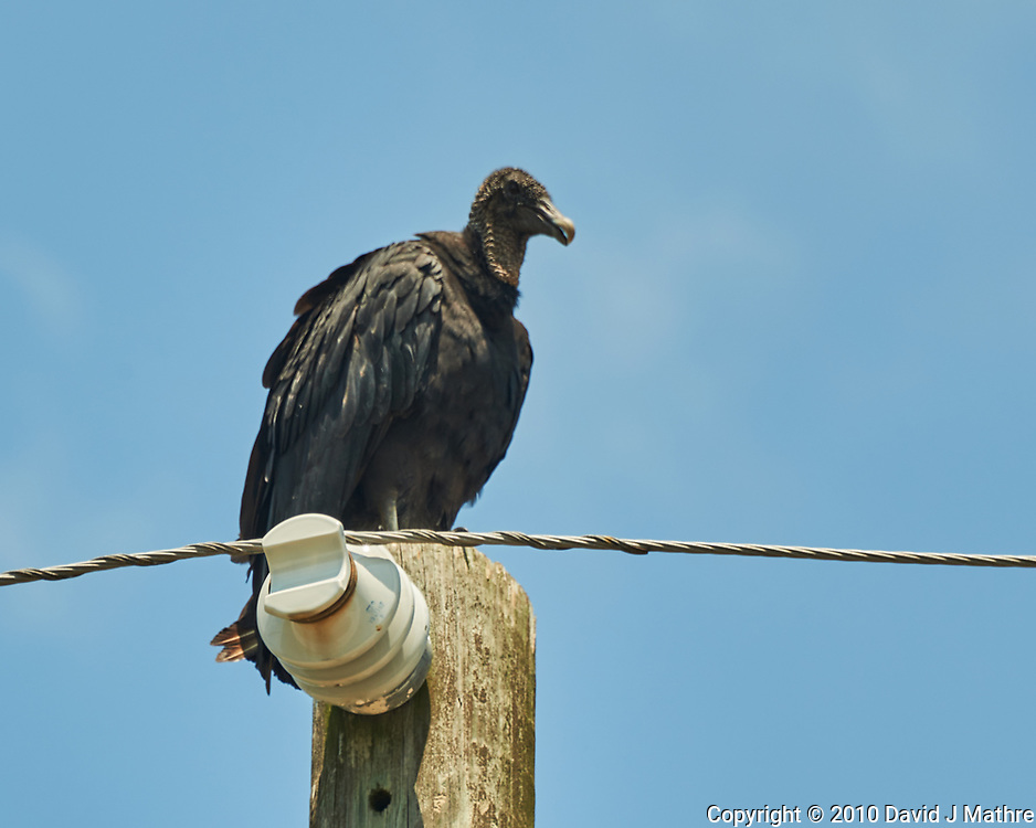 Black Vulture. Weedon Island Preserve. St. Petersburg, Florida. Image taken with a Nikon D3x camera and 70-300 mm VR lens.