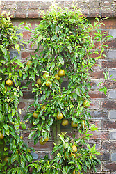 Pyrus communis 'Winter Nellis' (Pear) trained on a wall in the kitchen garden at West Dean Gardens, West Sussex. Pyrus communis