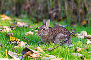 An Eastern Cottontail (Sylvilagus floridanus) forages in the grass near Cheam Lake Wetlands Regional Park, in Chilliwack, British Columbia