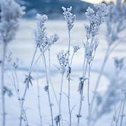 Noorwegen Gol 27 december 2008 20081227 Foto: David Rozing .Wintertafereel, ijs rijp op bloem .Wintertime, icy flower ..Foto: David Rozing
