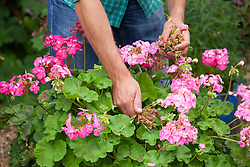 Deadheading a pelargonium in a container
