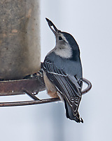 White-breasted Nuthatch (Sitta carolinensis). Image taken with a Leica SL2 camera and 90-280 mm lens.