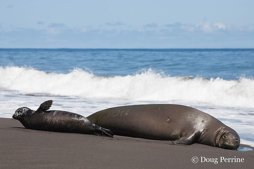 Hawaiian monk seal, Monachus schauinslandi ( Critically Endangered species, endemic to Hawaiian Islands  ), with bleached i.d. mark on fur, resting on beach with two week old pup, Waimanu Valley, Hawaii Island ( Pacific Ocean )