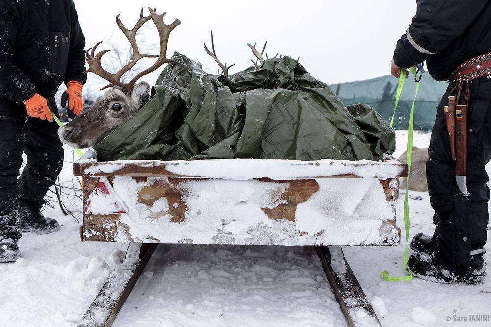 Reindeer herds, Kautokeino, Finnmark, Norway, Europe