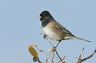 Dark-eyed Junco - Junco hyemalis (Oregon form) - male