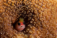 """Tufted Blenny (Mccoskerichthys sandae) living in a hole in a coral head.<br /> <br /> Endemic to Costa Rica and Western Panama.  Example of regional endemic, special to Eastern Tropical Pacific.<br /><br />Canales de Afuera Island<br />Coiba National Park, Panama<br />Tropical Eastern Pacific Ocean<br /><br />""""Wahoo"""" dive site"""