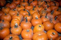 Pumpkins R Us opens at  Stoneleigh Park, Kenilworth  photo by Brian Jordan