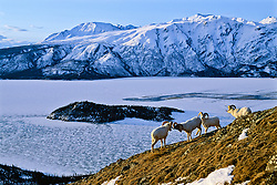 Dall sheep rams during the rut in Kluane National Park