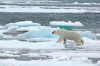 Polar bear / Ursus maritimus<br /> Moselbukta<br /> Svalbard<br /> Norway