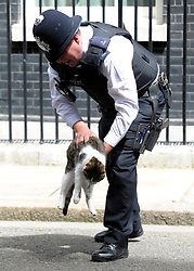 © Licensed to London News Pictures. 26/06/2012. Westminster, UK A policeman moves Larry the Downing Street cat from sunning himself in the road today as cars start to leave after the Cabinet Meeting. Downing Street today 26th June 2012. Photo credit : Stephen Simpson/LNP