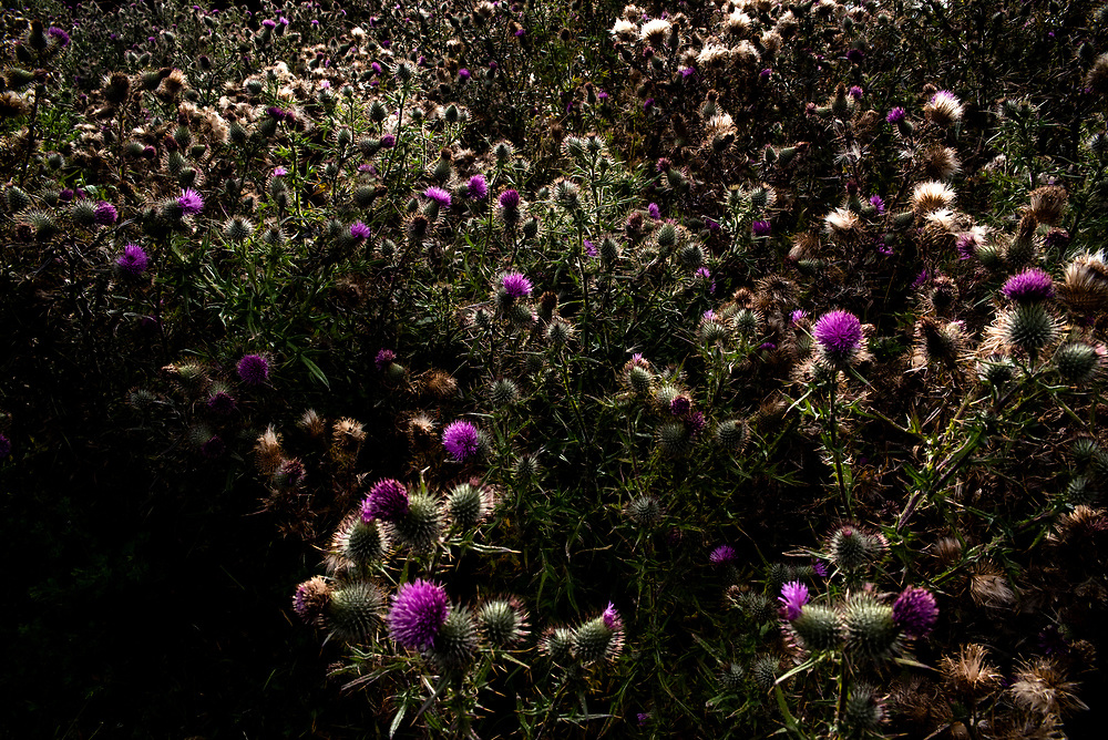 Cardomo flowers growing up in the high mountains of Cotopaxi. My great-grandmother worked brushing sheep wool blankets with these flowers, when I arrived at this place, the exact spot where she picked them, I felt an enormous nostalgia, but at the same time the peace of understanding death as part of life and breathing in the air of the wilderness, the spirit of my roots and my memory. July 31, 2020. Cotopaxi-Ecuador. Johis Alarcón