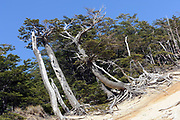 Erosion on the windward side of a Southern Beech (Nothofagus species) forest . Torres del Paine National Park,  Republic of Chile 18Feb13