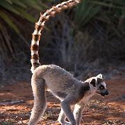 Ring-tailed lemur. Berenty Reserve, Madagascar